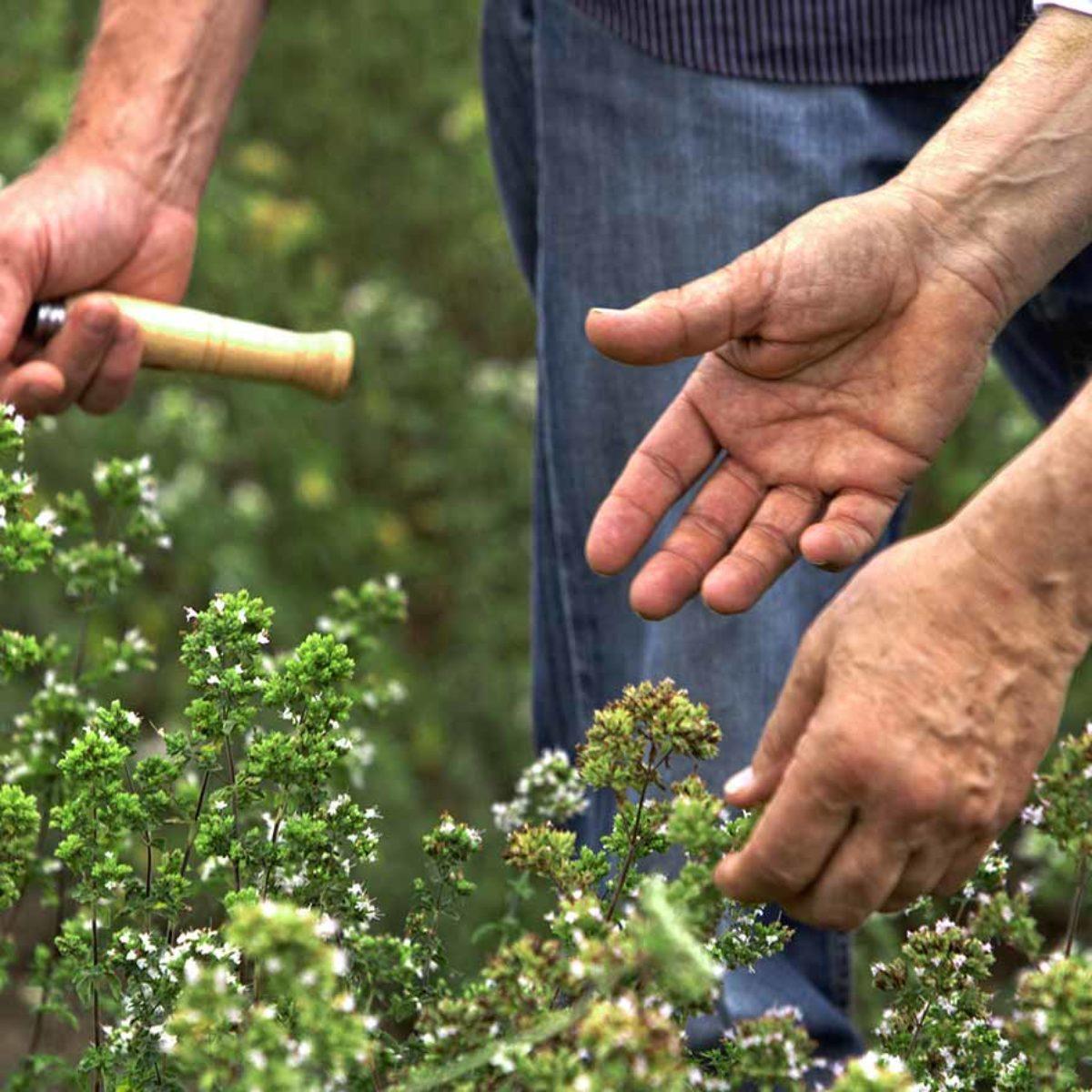 Azienda Agricola Biologica Filippone di Piante Aromatiche: Origano, Lavanda, Finocchietto, Timo, Rosmarino, Salvia, Alloro, Peperoncino